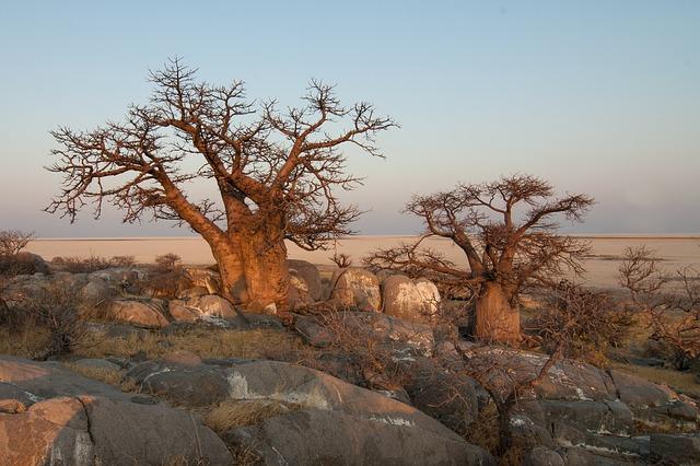 Botswana Baobab Tree